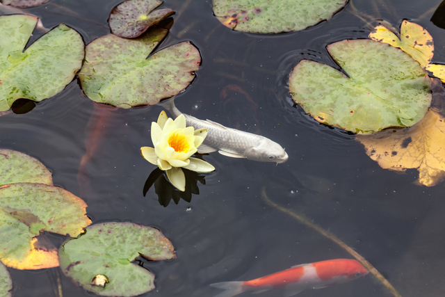 Create backyard retreat with a koi pond las vegas review for Outdoor fish pond care