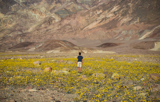 Las Vegas resident Tony Santo looks for a place to set up his large format camera among the wildflowers along Badwater Road in Death Valley National Park, Calif., on Saturday, Feb. 27, 2016. The N ...