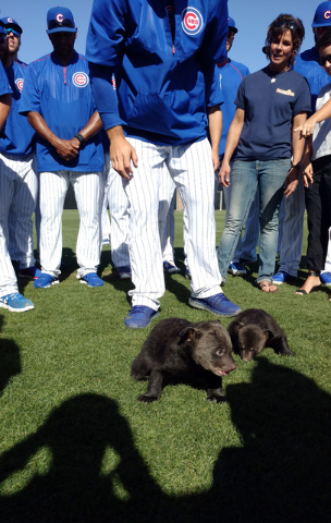 In this photo provided by Jason P. Skoda, Chicago Cubs players gather around a pair of bear cubs during spring training baseball, Friday, March 25, 2016, in Mesa, Ariz. (Jason P. Skoda via AP)