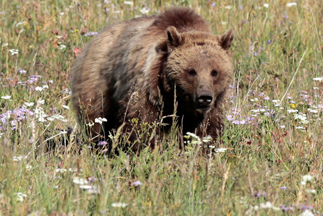 A grizzly bear walks in a meadow in Yellowstone National Park in Wyoming, Aug. 12, 2011. (Lucy Nicholson/Reuters)