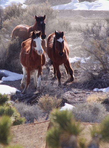 This picture was taken in Feb 2016 near Caliente, Nev. in which the BLM rounded up 120 wild mustangs. Due to an aggressive federal government policy, there are more wild horses in captivity than t ...
