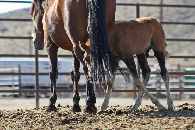 This picture was taken in 2012 at BLM holding facility for wild horses called the Palomino Valley Center, where horses are often crammed into small space. Litigation filed by Laura Leigh has helpe ...