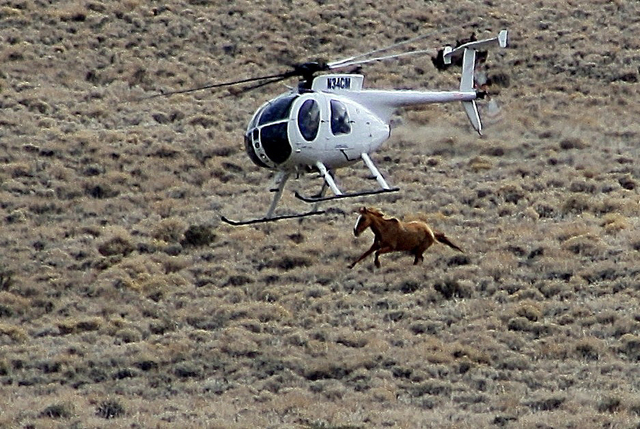 This picture was taken during a BLM roundup in 2011 in Antelope Valley, an hour north of Ely. Often, contractors hired by the BLM will use their helicopters like a battering ram to steer the willf ...