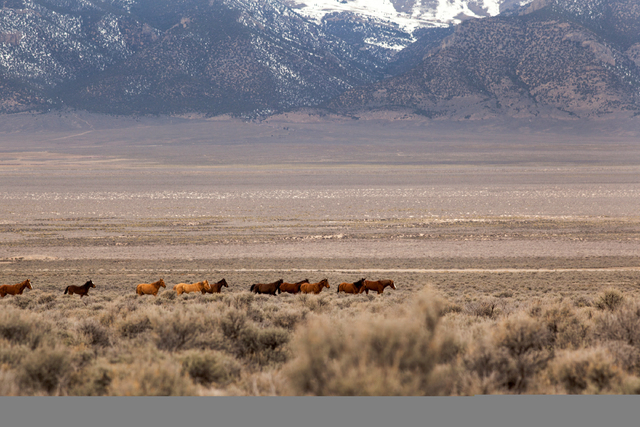 Wild horses are seen in a horse management area of Antelope Valley, Nev. on Thursday March 3, 2016. Randi Lynn Beach/Las Vegas Review-Journal