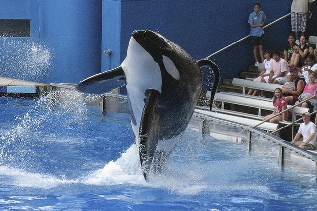 Killer whale Tillikum at SeaWorld amusement park in Orlando (Mathieu Belanger/Reuters)