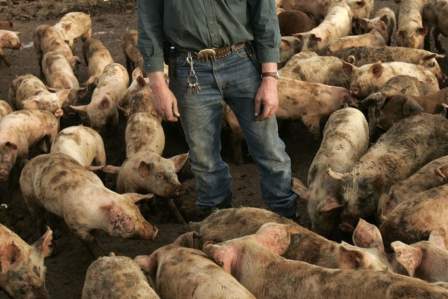R.C. Farms owner Robert Combs stands in a pen containing young pigs at his farm in North Las Vegas, Feb. 7, 2007.  (John Locher/Las Vegas Review-Journal file)