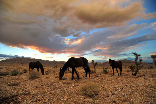 Free-roaming horses graze under stormy skies in the Spring Mountains near Cold Creek on Sunday, Aug. 10, 2014. (Review-Journal file)