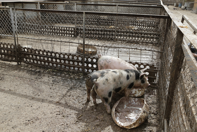 Pigs feed themselves at R.C. Pig Farms on 555 E El Campo Grand Ave., Monday, March 7, 2016, in North Las Vegas. (Bizuayehu Tesfaye/Las Vegas Review-Journal Follow @bizutesfaye