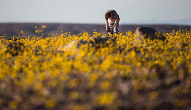 Jensen Hallstrom of Fullerton, Calif., takes a photo of the wildflowers along Badwater Road with a Rolleiflex camera in Death Valley National Park, Calif., on Saturday, Feb. 27, 2016. The National ...