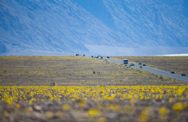 """People explore wildflowers along Badwater Road in Death Valley National Park, Calif. on Saturday, Feb. 27, 2016. The National Park Service said in a statement that the """"current bloom in Death Vall ..."""