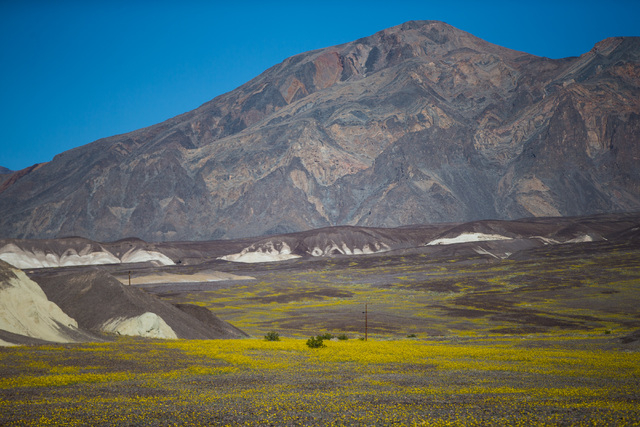 """Wildflowers are shown along California State Route 190 in Death Valley National Park, Calif. on Saturday, Feb. 27, 2016. The National Park Service said in a statement that the """"current bloom in De ..."""