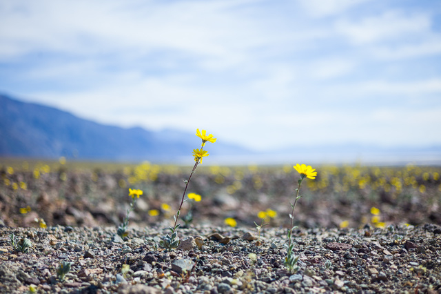 """Wildflowers are shown near Artists Drive at Badwater Road in Death Valley National Park, Calif. on Saturday, Feb. 27, 2016. The National Park Service said in a statement that the """"current bloom in ..."""