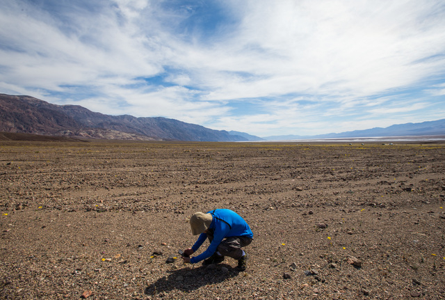 """A man takes a photo of wildflowers along Artists Drive at Badwater Road in Death Valley National Park, Calif., on Saturday, Feb. 27, 2016. The National Park Service said in a statement that the """"c ..."""