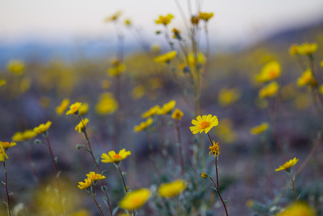 """Wildflowers are shown along Badwater Road in Death Valley National Park, Calif., on Saturday, Feb. 27, 2016. The National Park Service said in a statement that the """"current bloom in Death Valley e ..."""