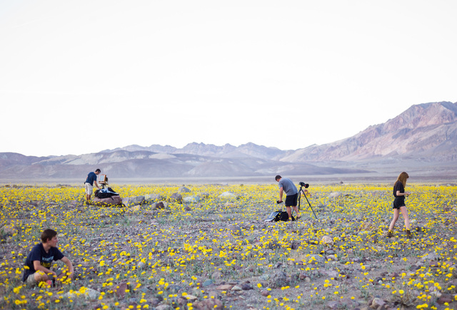 """People explore wildflowers along Badwater Road in Death Valley National Park, Calif., on Saturday, Feb. 27, 2016. The National Park Service said in a statement that the """"current bloom in Death Val ..."""
