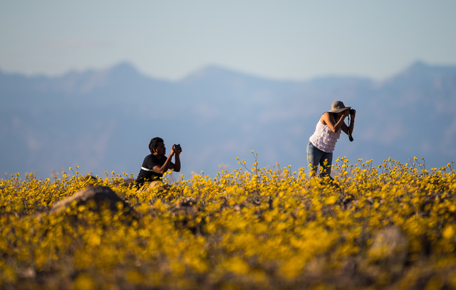 """People take photos of the wildflowers along Badwater Road in Death Valley National Park, Calif., on Saturday, Feb. 27, 2016. The National Park Service said in a statement that the """"current bloom i ..."""