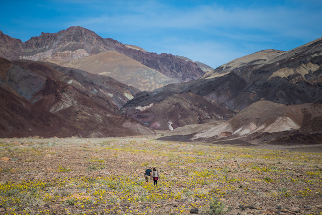 """People explore wildflowers along Artists Drive at Badwater Road in Death Valley National Park, Calif., on Saturday, Feb. 27, 2016. The National Park Service said in a statement that the """"current b ..."""