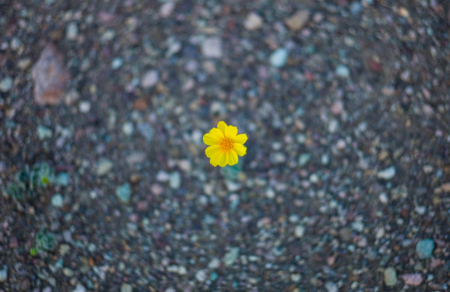 """A wildflower is shown along Badwater Road in Death Valley National Park, Calif., on Saturday, Feb. 27, 2016. The National Park Service said in a statement that the """"current bloom in Death Valley e ..."""