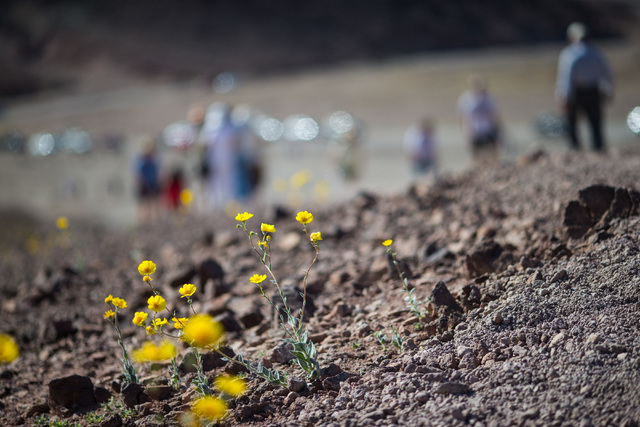 """People walk past wildflowers during a stop along Artists Drive in Death Valley National Park, Calif. on Saturday, Feb. 27, 2016. The National Park Service said in a statement that the """"current blo ..."""