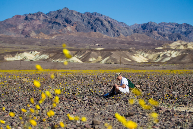 Goeff Rutledge of San Carlos, Calif. sits among the wildflowers along California State Route 190 in Death Valley National Park, Calif. on Saturday, Feb. 27, 2016. The National Park Service said in ...