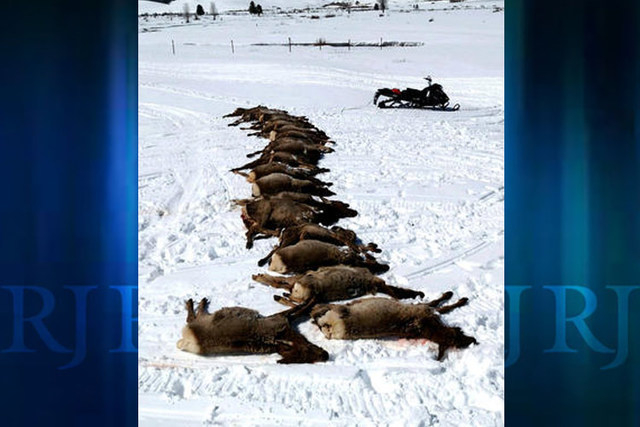 This Wednesday, March 23, 2016 photo provided by Wyoming Game and Fish Department shows elk at a state elk feed-ground that were killed by wolves near Bondurant, Wyo., without eating much, if any, ...