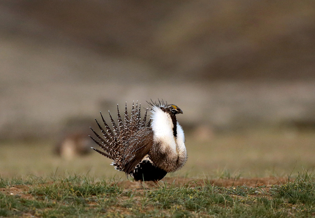 A male sage grouse struts in the early morning hours on a lek outside Baggs, Wyo., April 22, 2015.  (Dan Cepeda/The Casper Star-Tribune via AP, File)