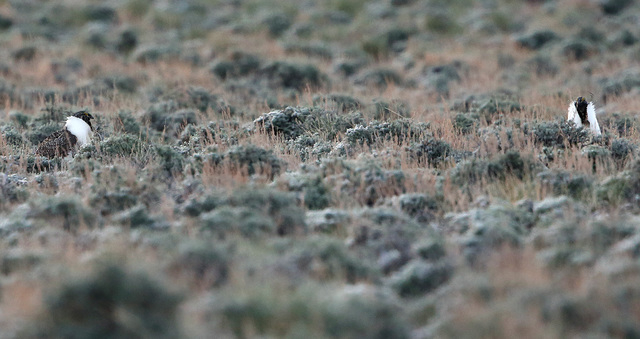 Male bistate sage grouse wander their mating grounds, known as a lek, near Smith Valley on Thursday, March 31, 2016. (Cathleen Allison/Las Vegas Review-Journal)