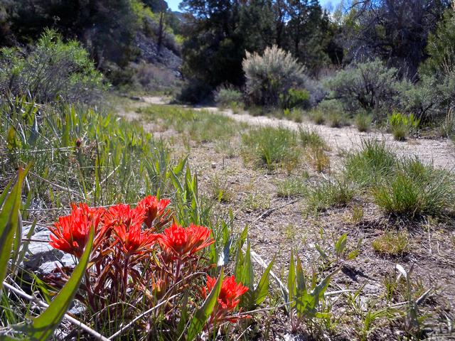 Indian paintbrush alongside the Pole Canyon Trail, Great Basin National Park. (Jennifer Robison/Las Vegas Review-Journal)