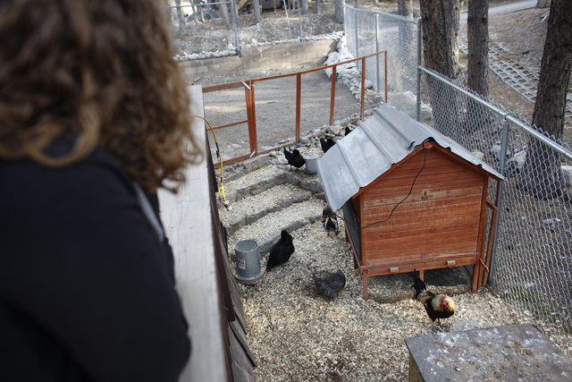 Allison Sosa looks over her chicken coop at her home in Mount Charleston Thursday, March 31, 2016. Rachel Aston/Las Vegas Review Journal Follow @rookie__Rae