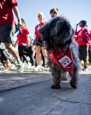 A dog named Shane walks during the 26th annual Aid for AIDS of Nevada (AFAN) AIDS Walk Las Vegas at Town Square in Las Vegas on Sunday, April 17, 2016. (Daniel Clark/Las Vegas Review-Journal) Foll ...