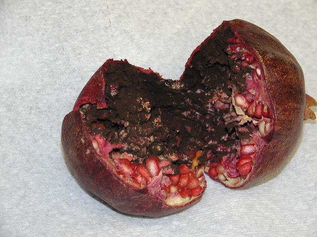 COURTESY Pomegranates may develop fruit with a black interior, a result of wet weather when they are flowering.