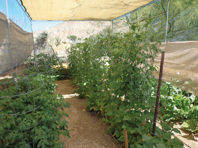 Growing vegetables in the desert Las Vegas ReviewJournal