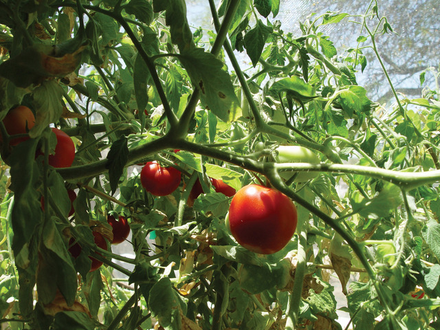 Good COURTESY SASQUATCH BOOKS Tomatoes Are The Most Frequently Grown Nightshade  Vegetable.
