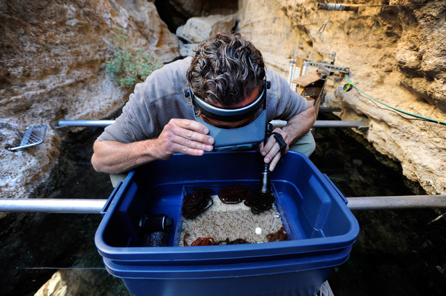 Aquaculturist Olin Feuerbacher examines a spawning mat collected from the water at Devil's Hole on Nov. 25, 2013. A count over the weekend suggests a rebound in the population of critically endang ...