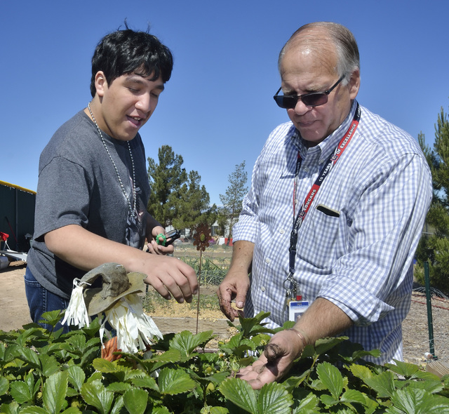 Student Saumon Rezai checks on some strawberry plants with special education teacher Gary Manning in the community garden at Coronado High School, 1001 Coronado Center Drive in Henderson, March 31 ...