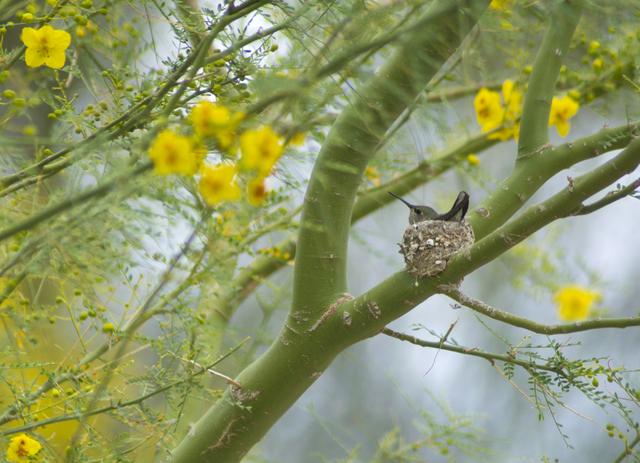 A hummingbird sits on her eggs in a nest at the Henderson Bird Viewing Preserve April 4. Daniel Clark/View Follow @DanJClarkPhoto