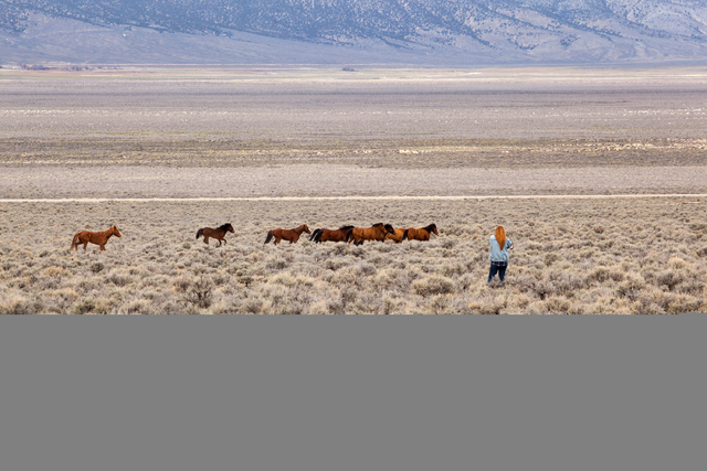 Wild horses are seen in a horse management area of Antelope Valley on Thursday March 3, 2016. (Randi Lynn Beach/Las Vegas Review-Journal)