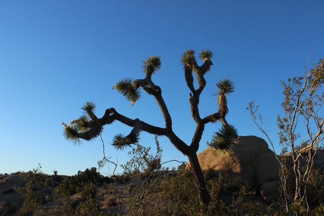 A joshua tree is seen in Joshua Tree National Park on Saturday, April 2, 2016. (Alexander S. Corey/Las Vegas Review-Journal)