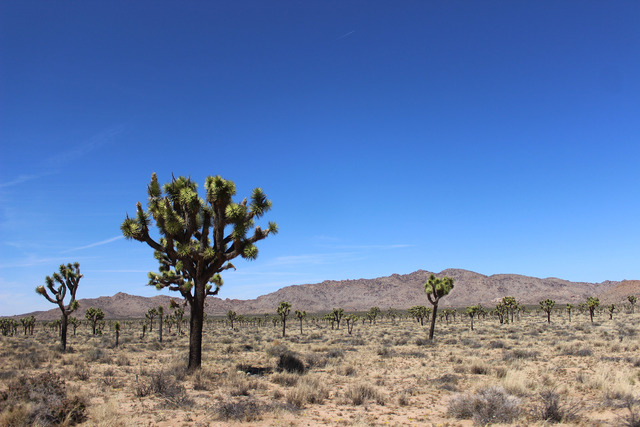 Joshua Tree National Park is seen on Sunday, April 3, 2016. (Alexander S. Corey/Las Vegas Review-Journal)