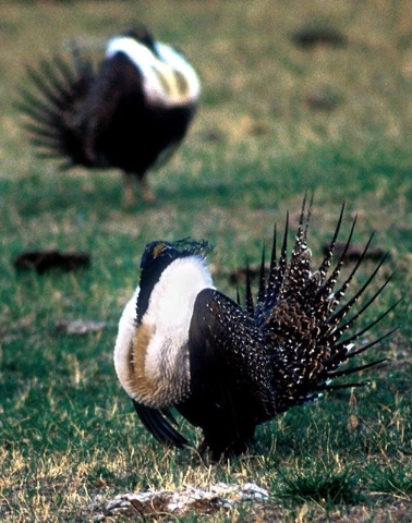 Male sage grouse perform their mating displays near Jordan, Mont., in this undated file photo. (AP Photo/The Missoulian, Steve Woodruff, File)