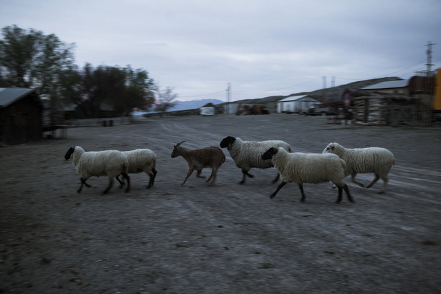 Sheep are seen at Lina Sharp's home in Railroad Valley, Nev., 100 miles east of Tonopah, is shown on Friday, April 8, 2016. Randi Lynn Beach/Las Vegas Review-Journal