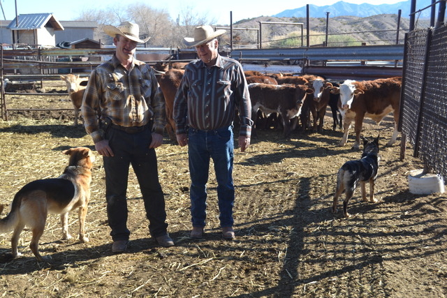 Lillian Browne / Pahrump Valley Times - Clark County rancher, Cliven Bundy, right, and his son Ryan, finish a gather of cross-bred young-stock cattle from public lands adjacent to the family's 1 ...