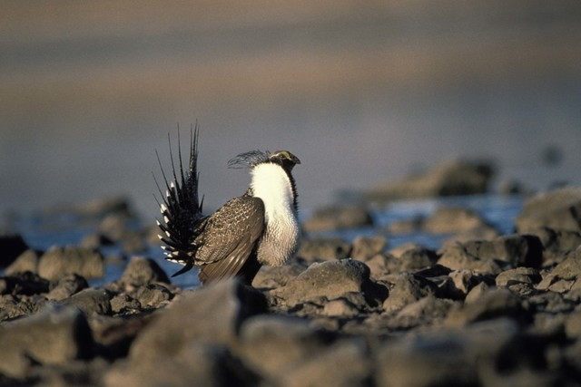 Sage grouse (Courtesy/U.S. Fish and Wildlife Service)