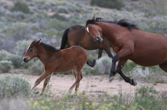A herd of wild horses play in Mound House, Nev., on Tuesday, April 26, 2016. Nevada Gov. Brian Sandoval is pursuing legal options to force the federal government to fund management of the state's  ...