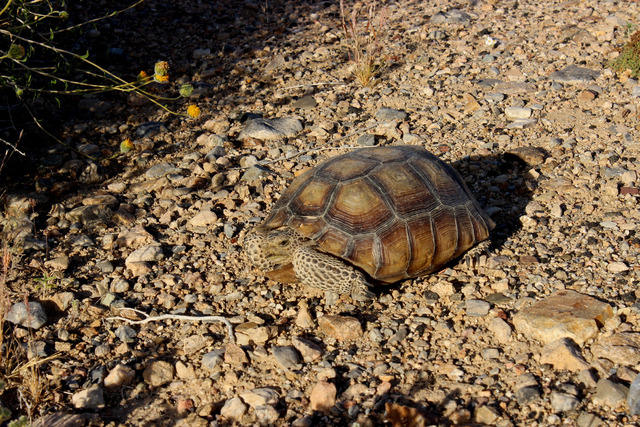 A desert tortoise is seen on the side of the road outside Joshua Tree National Park on Sunday, April 3, 2016. (Alexander S. Corey/Las Vegas Review-Journal)