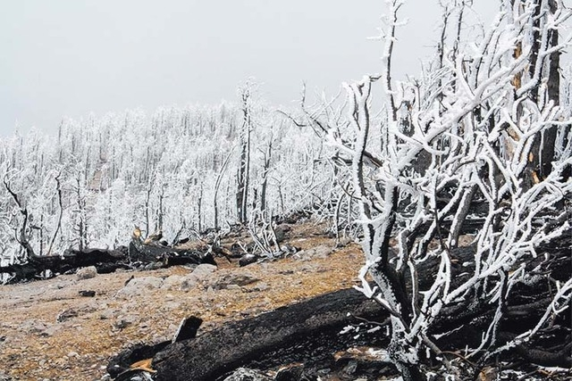 Burned trees are shown covered by spring snow along Mount Charleston's South Loop Trail May 6, 2014. The  trail has been closed since the 2013 Carpenter 1 fire, but it could reopen this fall after ...