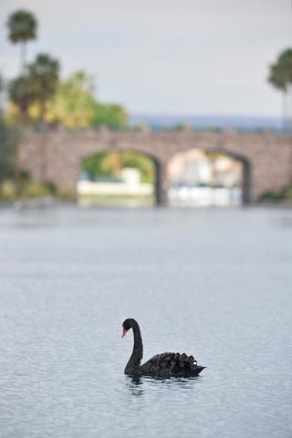 A black swan swims in Lake Jacqueline April 9. Brett Le Blanc/View