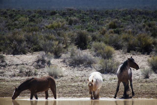 Wild horses as seen Thursday, May 1, 2014 in Nevada. (Jeff Scheid/Las Vegas Review-Journal)