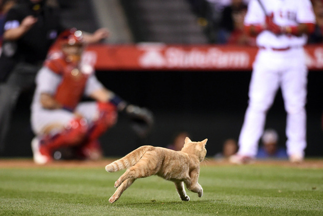May 12, 2016; Anaheim, CA, USA; A cat runs onto the field during a MLB game between the St. Louis Cardinals and the Los Angeles Angels at Angel Stadium of Anaheim. (Kirby Lee/USA Today Sports)