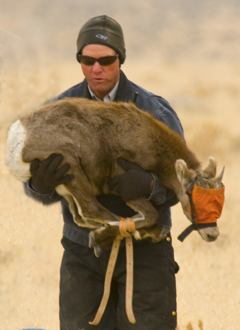 In a Nov. 2011 photo, Nevada Department of Wildlife game biologist Ed Partee carries a young desert bighorn sheep during a capture and trasnplant operation in the Pine Forest Range of northwest Ne ...